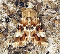(2352) Dusky Sallow (Eremobia ochroleuca) (5970172343).jpg