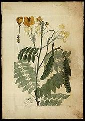 (Cassia sylvestris, Vell)