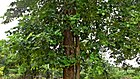 (Pterocarpus santalinus) red sandalwood tree at IG Zoo Park in Visakhapatnam 03.jpg