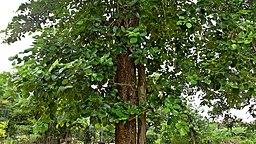 (Pterocarpus santalinus) red sandalwood tree at IG Zoo Park in Visakhapatnam 03