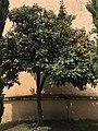 Árbol de Níspero.jpg