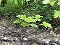 Érable sycomore (Acer pseudoplatanus) (1).jpg