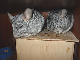 Chinchilla (Chinchilla lanigera)
