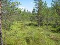 Болотистое сосновое редколесье - panoramio.jpg
