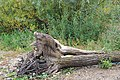 Бревно с половодья. Кама. Чистопольский р-н. РТ. Сентябрь 2013 - panoramio.jpg