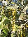 Бяла топола - плодове.jpg