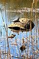 Весна и на теплом солнце загорают черепахи, живущие в пруду Парка Партизанской славы.jpg