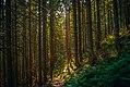 В Карпатському лісі.jpg