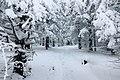 Зима на Таганае, реликтовые ели.jpg