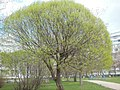 Ива весной.jpg