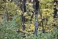 Лес около дер. Старая Киреметь. Аксубаевский р-н. РТ. Сентябрь 2013 - panoramio.jpg