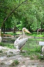 Пелікан рожевий у Київському зоопарку. Фото 1.jpg