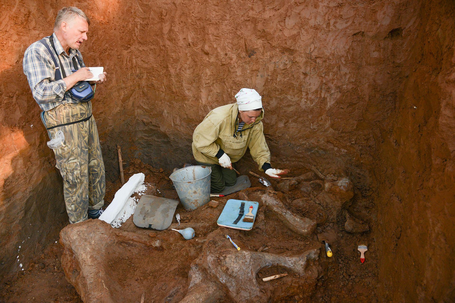 Расчистка костеносного слоя и описание костей скелета трогонтериевого слона - предка шерстистого мамонта.jpg