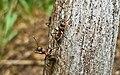 Рыжий лесной муравей KR 01.jpg