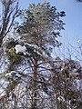 Сосни взимку, Голосївський ліс.jpg