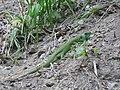 Ящірка зелена (Lacerta viridis) біля водоспаду Дівочі Сльози (с. Ісаків).jpg