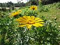 פרחים בישראל (98).JPG