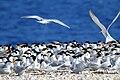 الطيور وكثافتها في محيات جنوب البحر الاحمر.jpg