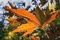 برگ زرد-پاییز-yellow leaves-falling leaves-fall 01.jpg