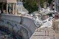 رفتار مرغان دریایی نوروزی یا یاعو در کشور عمان، شهر مسقط، ساحل دریای عمان - عکس مصطفی معراجی 15.jpg