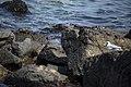 مرغ نوروزی یا یاعو از خانواده کاکائیان Gull 08.jpg