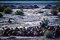 چرای گله شتر - حوالی کاروانسرای دیر گچین قم - پارک ملی کویر 11.jpg