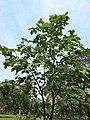 คอร์เดีย (Geranium tree ) Cordia debestina L. 03.jpg