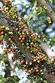 มะเดื่ออุทุมพร Ficus racemosa L (8).jpg
