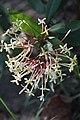 เข็มหลวง ( Ixora spextabilis Wall. ) RUBIACEAE (1).jpg