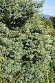 აკაცია ლეგა Acacia dealbata gelbe Mimose, Silberakazie 1.JPG