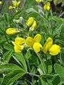 センダイハギ(先代萩-千代萩)(Thermopsis lupinoides)-花 (5844565579).jpg