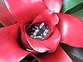 五彩鳳梨 Neoregelia carolinae Meyendorffii -香港公園 Hong Kong Park- (9200879876).jpg