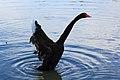 台大醉月湖 - 黑天鵝 - panoramio.jpg