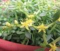 垂盆草 Sedum sarmentosum -香港花展 Hong Kong Flower Show- (9213308751).jpg