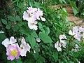 小时候,这里漫山遍野的野蔷薇 - panoramio.jpg