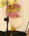 廣西玉女兜蘭 Paphiopedilum micranthum v eburneum -台南國際蘭展 Taiwan International Orchid Show- (40859232042).jpg