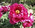 日本牡丹-磯之波 Paeonia suffruticosa Iso-no-nami -日本大阪長居植物園 Osaka Nagai Botanical Garden, Japan- (27517002687).jpg