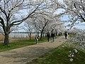 木場湖「千本桜」 - panoramio (1).jpg