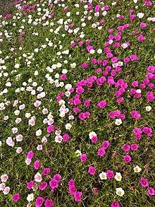 Farewell To Spring Clarkia Amoena Annual Plants September Flowers Plants