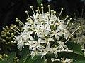 梭羅樹 Reevesia thyrsoidea -香港動植物公園 Hong Kong Botanical Garden- (9229899678).jpg