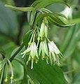 短蕊萬壽竹 Disporum leucanthum -比利時 Ghent University Botanical Garden, Belgium- (9222670644).jpg