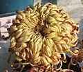 菊花-橙蟹蓮 Chrysanthemum morifolium 'Orange Crab Lotus' -香港圓玄學院 Hong Kong Yuen Yuen Institute- (11980834066).jpg