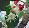 蓮霧 Syzygium aqueum -沖繩熱帶夢幻中心 Tropical Dream Centre, Okinawa- (9580328465).jpg