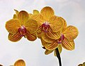 蝴蝶蘭 Phalaenopsis PZO Canary -台南國際蘭展 Taiwan International Orchid Show- (39129453280).jpg