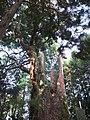 金比羅スギ - panoramio.jpg