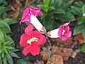 金魚草 Antirrhinum majus Trumpet Serenade -英格蘭 Bowness-on-Windermere, England- (9204859917).jpg