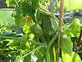 -2019-07-25 Hanging Pumpkin from vine, Trimingham (3).JPG