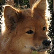 01 Finnish Spitz. Backlit Ginger.jpg