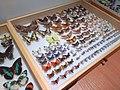 03 Museum insect specimen drawer - Muzeum Gornoslaskie, Bytom, Poland.jpg