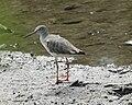060219 common redshank assuming summer plumage - Flickr - Lip Kee.jpg